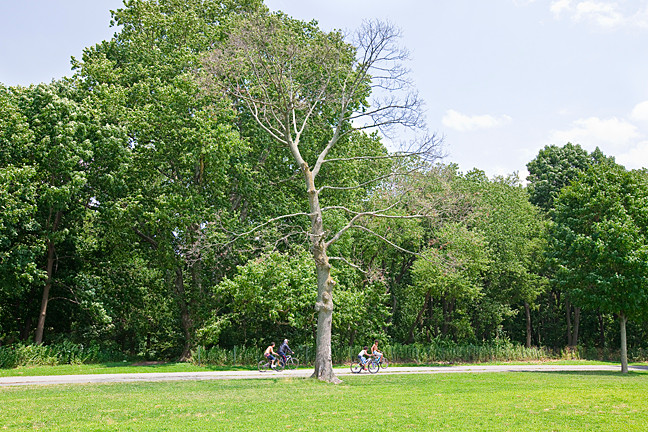 Visitors to the east side of the Van Cortlandt Park parade ground can read the entire history of this lifeless, leafless tree in its filigree of twigs, broken branches and stumps where proud branches once stood.