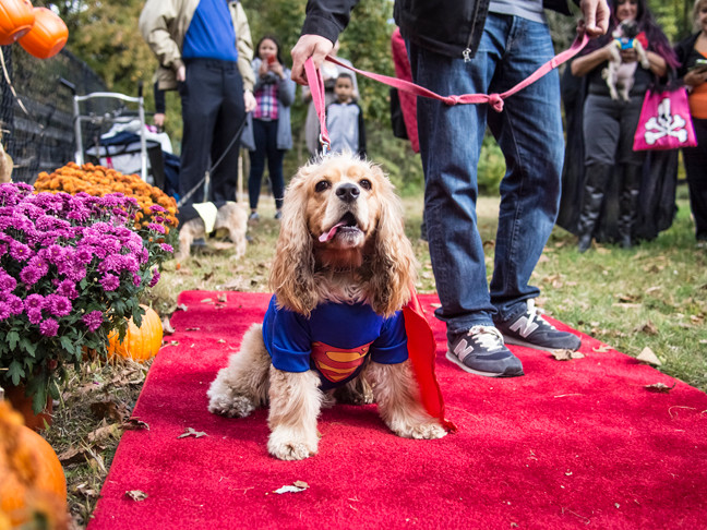 Lucky, a 1-year-old American Cocker Spaniel, takes a stroll on the red carpet dress as Superman at the 'Howl-o- Ween' Dog Costume event at Van Cortlandt Park on Sunday.