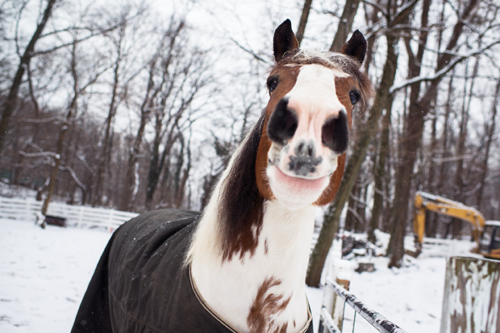 Apollo the horse gives a visitor a friendly grin, perhaps hoping for a carrot or a lump of sugar, as he stands in his pen in the Van Cortlandt Park stables on a snowy Tuesday, Jan. 6, 2015