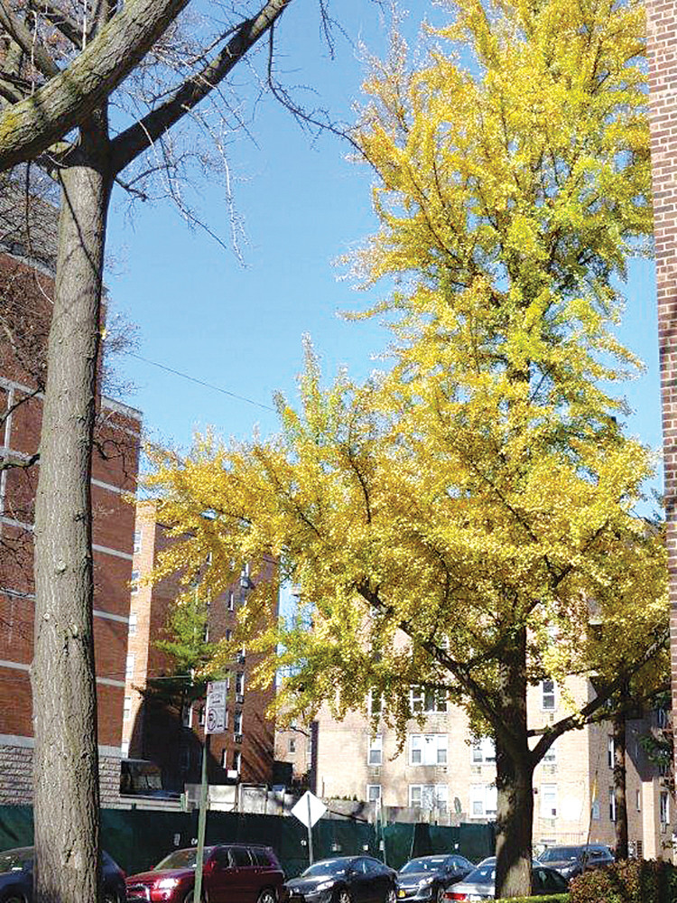 One of the adult gingko trees in North Riverdale this November.