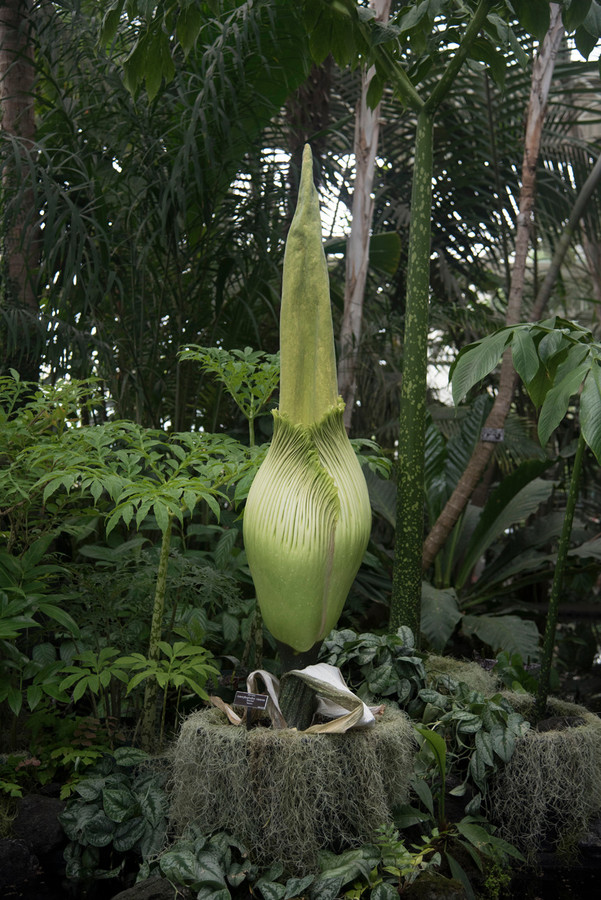 Corpse Flower Blooms At Botanical Gardens The