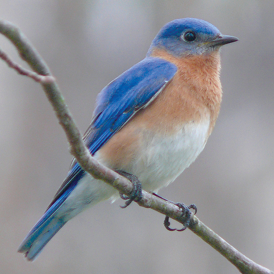 The Eastern Bluebird is the state bird of New York.