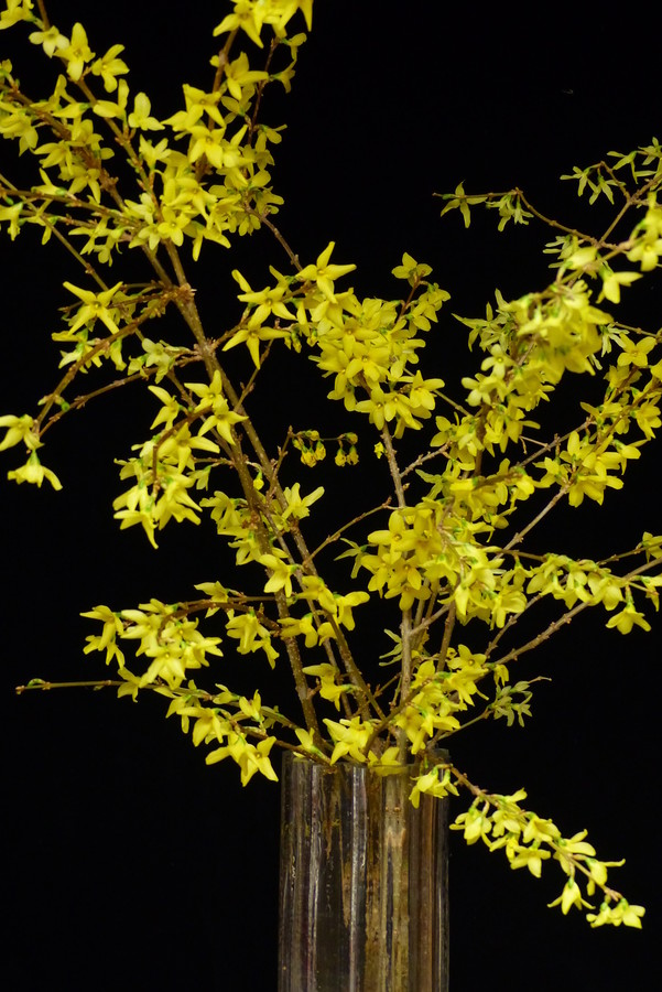 The weather wasn't too kind for them this year, but there are still some good tips available in helping forsythias blossom beautifully each year to usher in spring.