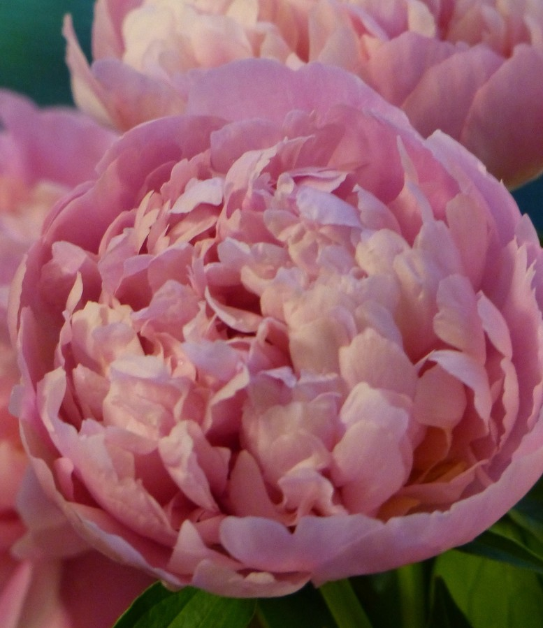 Peonies are not the easiest flower to grow, but it can be an amazing summer addition to a garden or home. The name comes from the Greek word for physician of the gods — that is, Apollo.