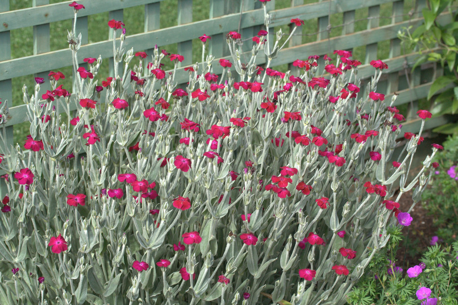 Better known as rose campions, the Lychnis coronaria is typically worth the wait for your summertime garden.