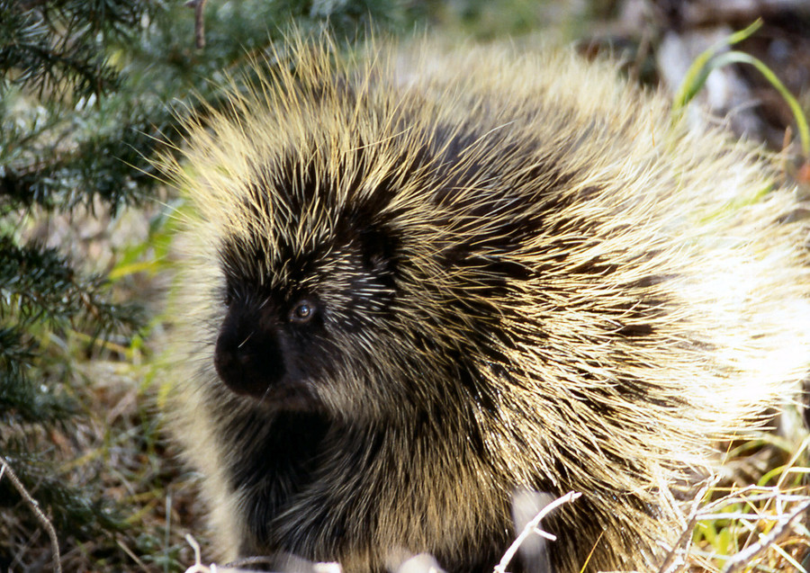 Think porcupines and hedgehogs are the same thing? Well, think again.