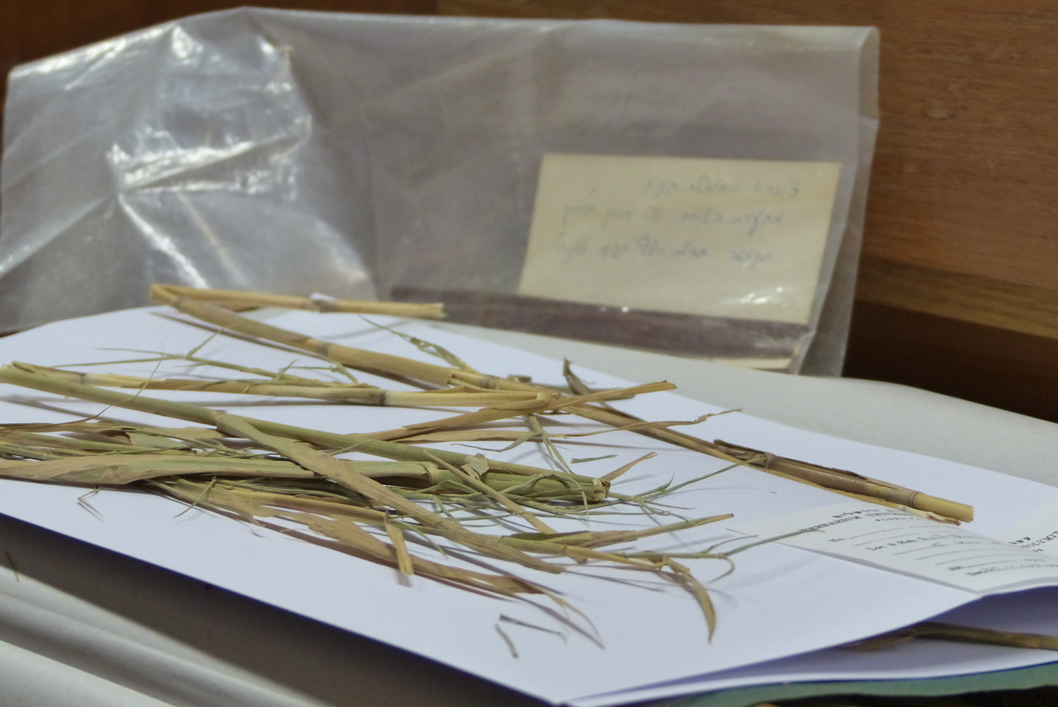 These 6,000-year-old phragmites were found in a burial cave in Wadi el-Makkukh in the Judean desert.