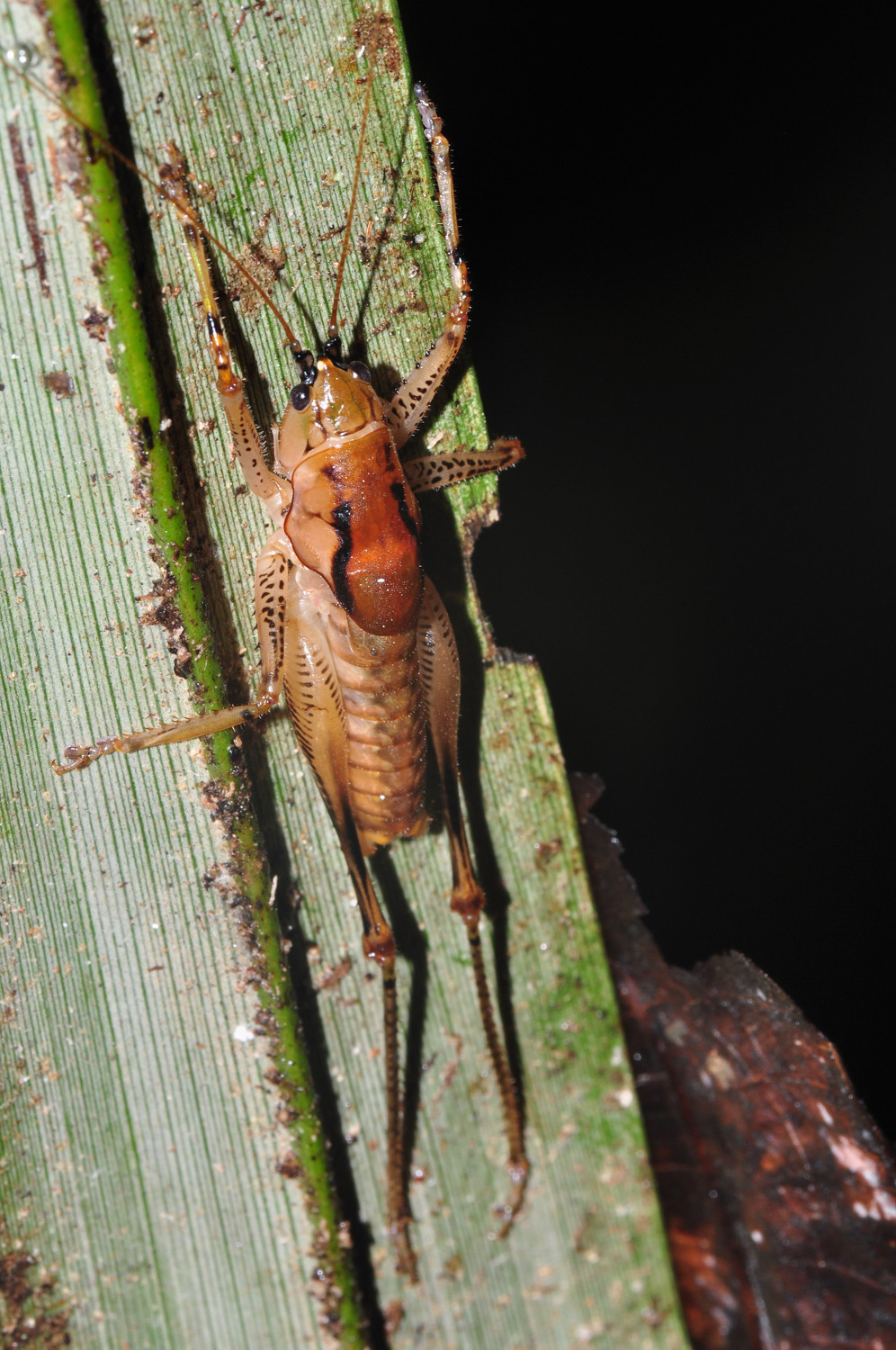 Camel crickets tend to love dark, damp basements. Out in nature, however, they're probably most useful as a food source despite its half-cricket, half-spider appearance.