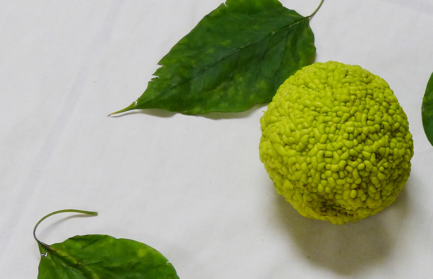You might not be familiar with the Osage orange, but at one time, it was one of the most popular trees in the United States.
