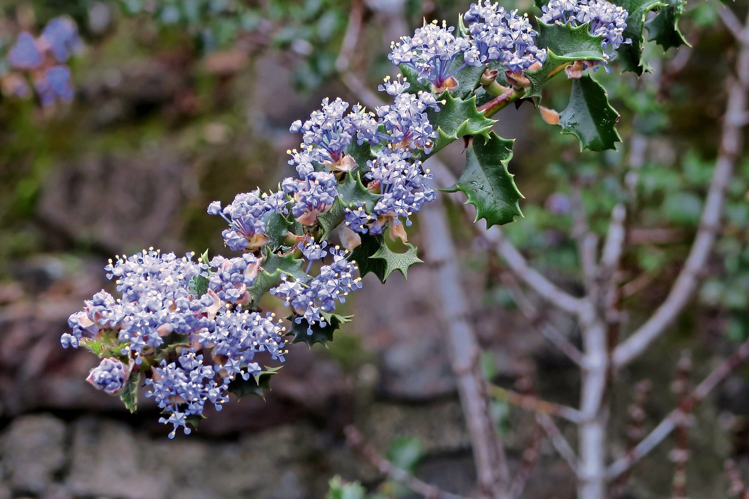 Even a color like purple can generate different gender designations when we look at botanical latin. These plants could be referred to in the feminine sense, neutral, or like the Ceanothus purpureus, masculine.