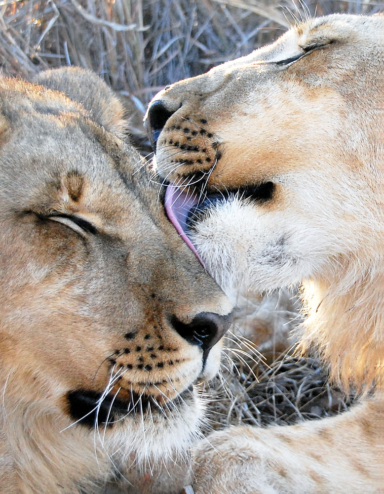 Tamara Lund was only three feet away with nothing to protect her from these two lions grooming one another in Zimbabwe.