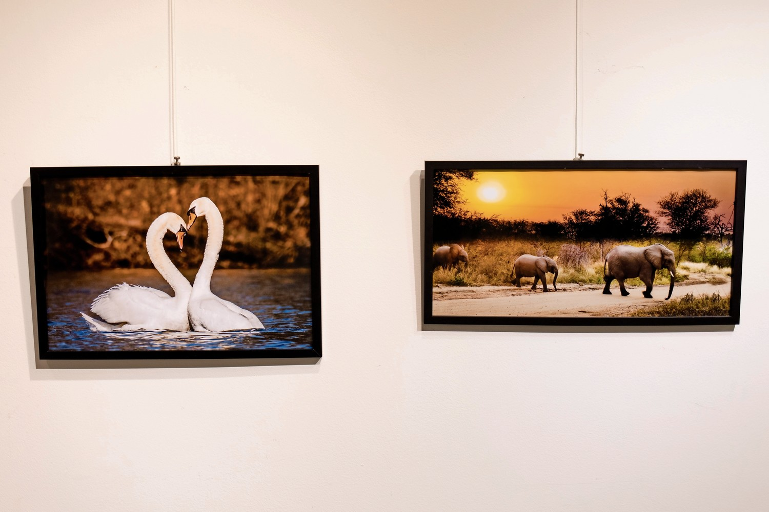 Mark Davis photographs a mix of animals near and far. At left, swans have a moment together in Van Cortlandt Park. At right, elephants cross the road in Kruger National Park in South Africa. His exhibition 'Wildlife: Near and Far' is on view at the Riverdale Y until June 30.