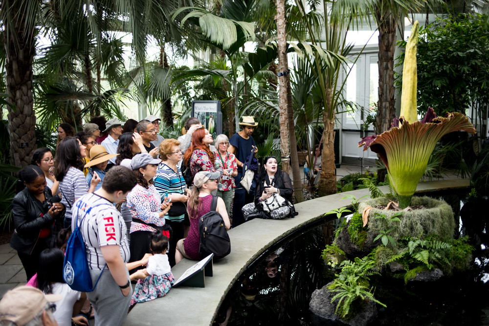 A throng of visitors to the New York Botanical Garden's conservatory take in the sight and scent of the corpse flower. Known scientifically as Amorphophallus titanum, the flower takes seven to 10 years to reach the point where it can bloom. Once it does, it release a torrent of odor that has notes of feces, rotting flesh and Limburger cheese.