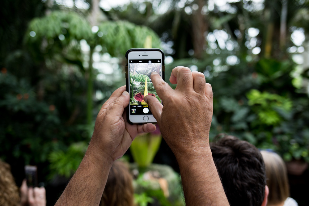 A visitor to the New York Botanical Garden's conservatory zooms in on the corpse flower before taking a picture with his phone.