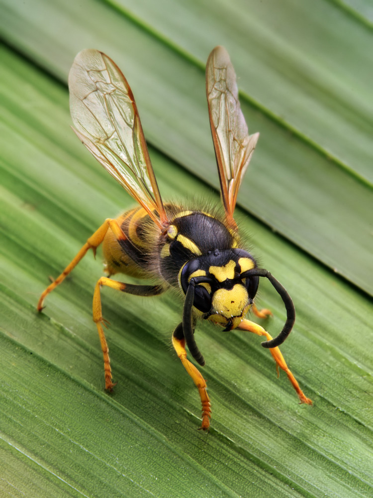The German wasp is probably best known in the United States as a standard yellowjacket. They are known as pests almost everywhere they go, since they can outcompete many other native animal species, but North America has become used to them.