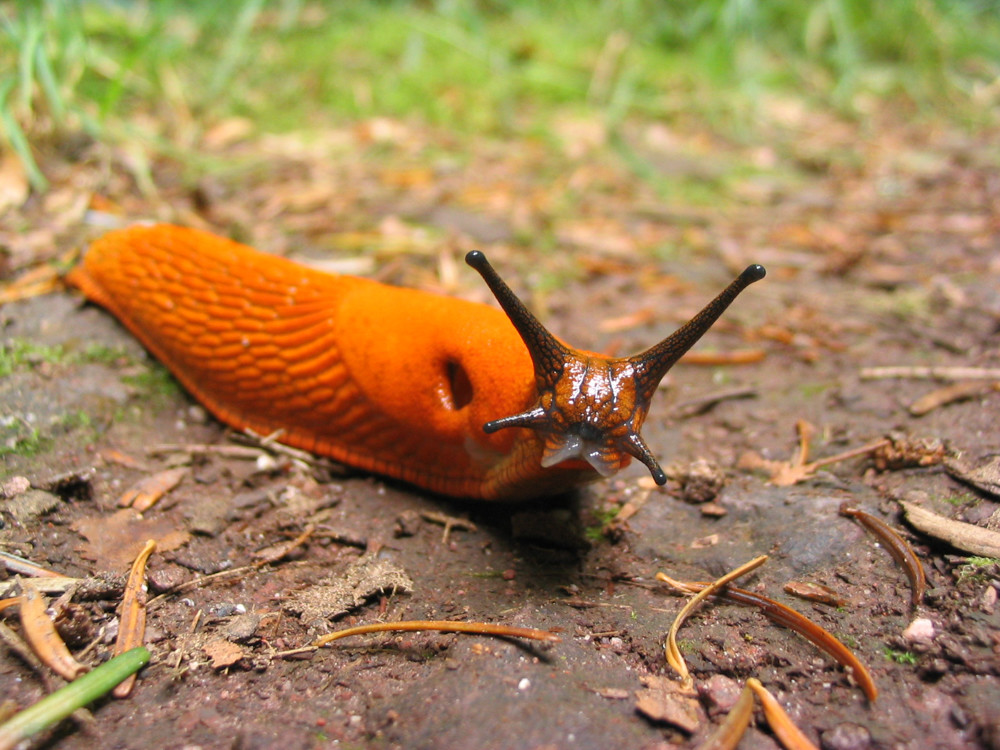 The arion rufus, otherwise known as the red slug, is commonly found in gardens.