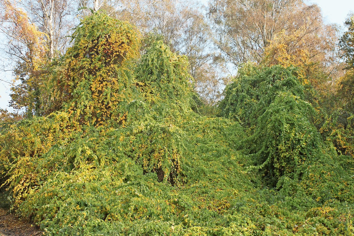 A blanket of oriental bittersweet vines cover overgrowing trees. It's ones of many plant invasives that can wreak havoc in our natural environment.