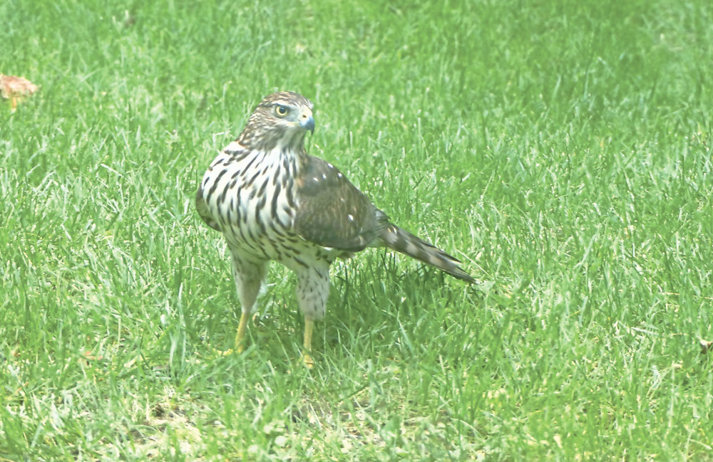This isn't exactly something you'll see in Sura Jeselsohn's (or many people's) backyards — a juvenile Cooper's hawk. If only it had stuck around a little longer, it could've helped clear out some pesky alpha mourning doves.