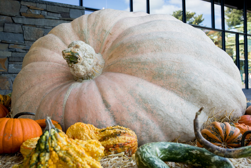 A 2,528-pound pumpkin rests among smaller gourds in the visitor center at the New York Botanical Garden. Grown by Steve Geddes in New Hampshire, the pumpkin is the largest one in the world for 2018.