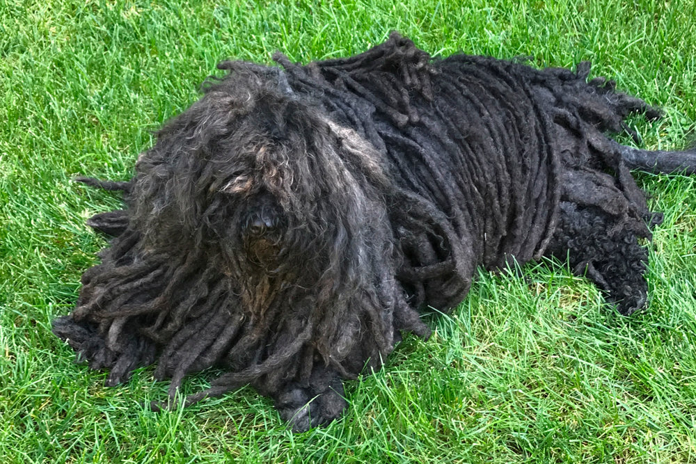 Rocky is a Riverdale personality in his own right, a puli dog owned by Julie Gaynor.