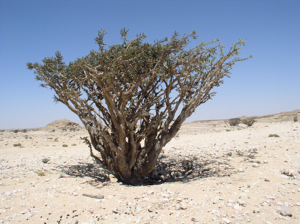 In case you're wondering where frankincense comes from, it's actually a tree, much like this one at Wadi Dawkah, a natural park in Dhofar, Oman, known for these types of trees.