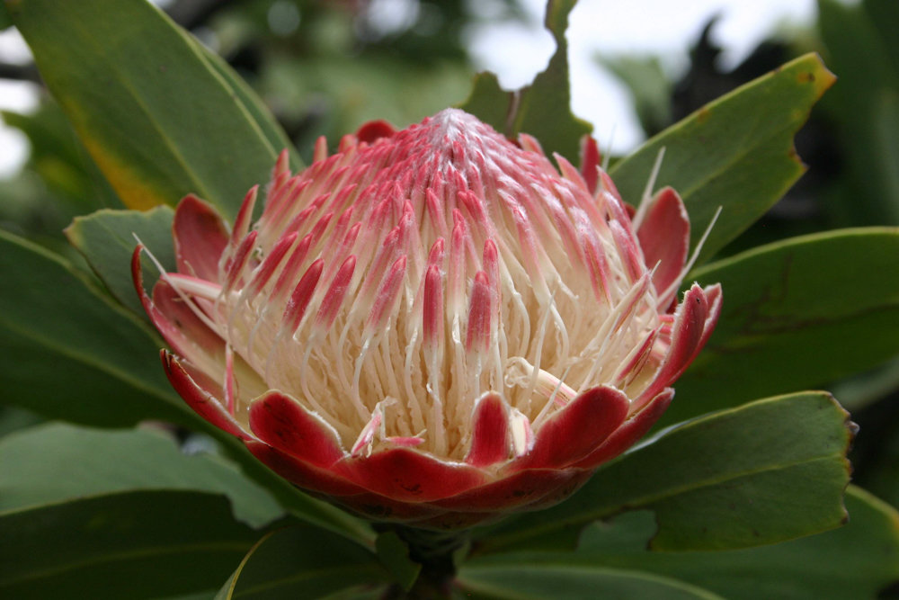 Plants like this Protea caffra can be found in various forms around the world, although it's not exactly clear how they ended up across oceans, considering some evolved after the continents broke apart.