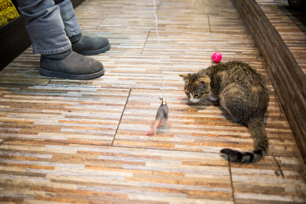 Luna eyes a toy mouse on a string inside Ismael's Gourmet Deli on West 238th Street. The two-month-old kitten was allegedly whisked away from her home by a catnapper wearing a Cookie Monster hoodie on Feb. 23. Five days later, she was returned to the bodega, much to the relief of Ismael Diaz, his wife Suzie Peña, and their son Jonathan.