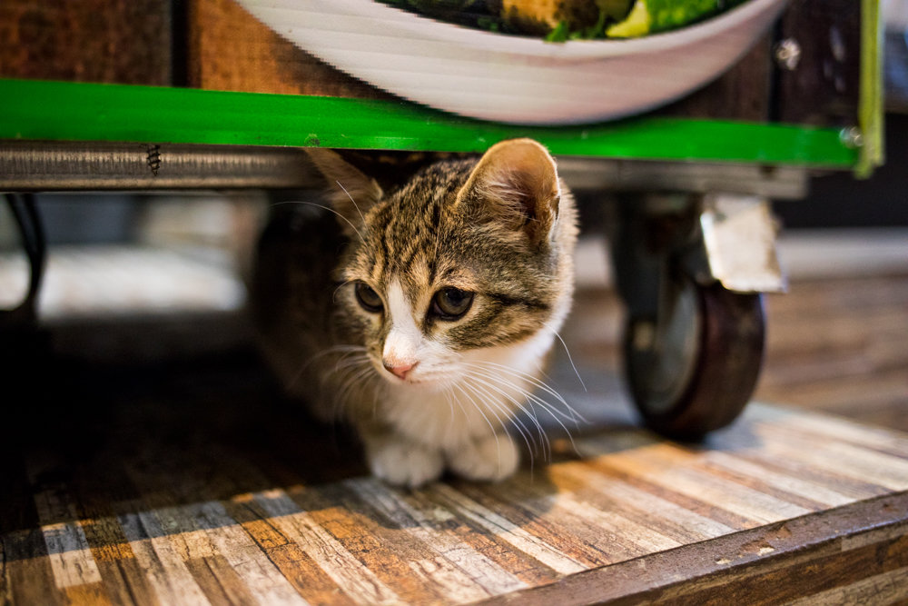 Luna, a 2-month-old kitten, peeks out from under a cart inside Ismael's Gourmet Deli, where she lives. On Feb. 23, a catnapper allegedly absconded with Luna, much to the dismay of deli owners Ismael Diaz and Susie Peña and their 10-year-old son Jonathan. A wanted poster issued by the 50th Precinct and widespread media coverage galvanized the community to help spread the word about the bodega's littlest employee. Luna was returned Feb. 28, much to the delight of everyone, especially Jonathan.