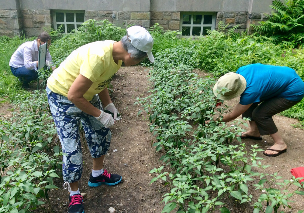 Three students from Lehman College's adult learning center harvest peppers in August 2015. Lehman College has partnered with Small Axe Peppers, a hot sauce company that works with urban and community gardens, to source its ingredients.