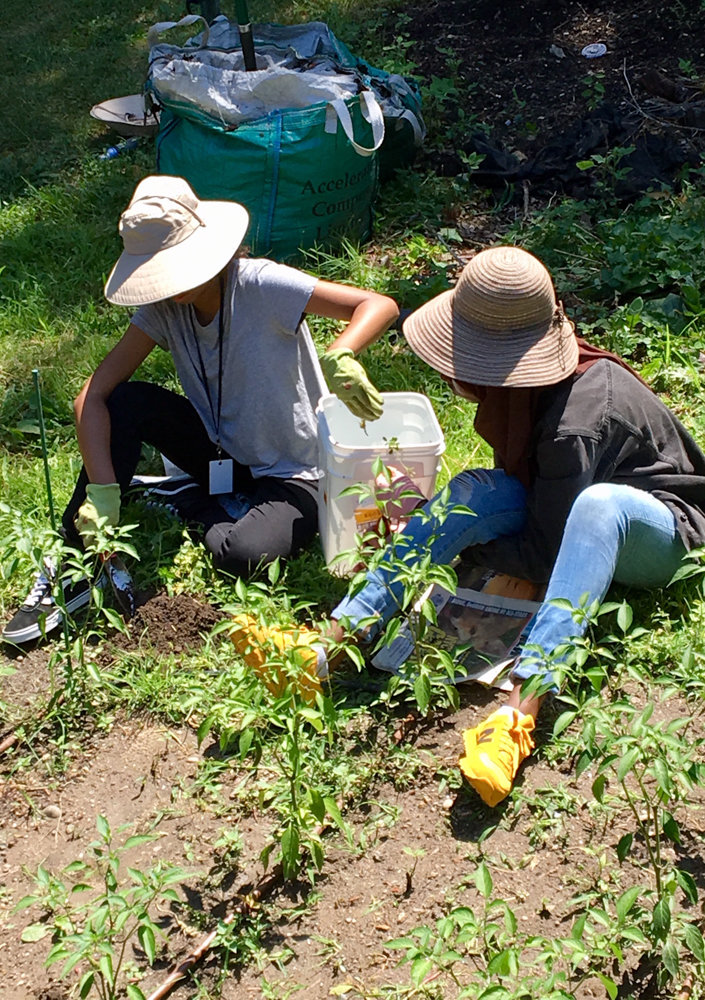 Lehman College students remove weeds in the school's community garden last summer where they grow peppers. The school has partnered with Small Axe Peppers, a hot sauce company that works with urban and community gardens to source its ingredients.