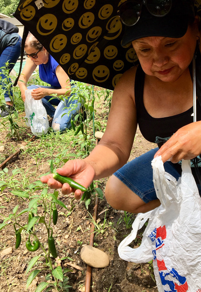 Students from Lehman College's adult learning center harvest peppers in the school's community garden last summer. The school has partnered with Small Axe Peppers, a hot sauce company that works with urban and community gardens to source its ingredients.