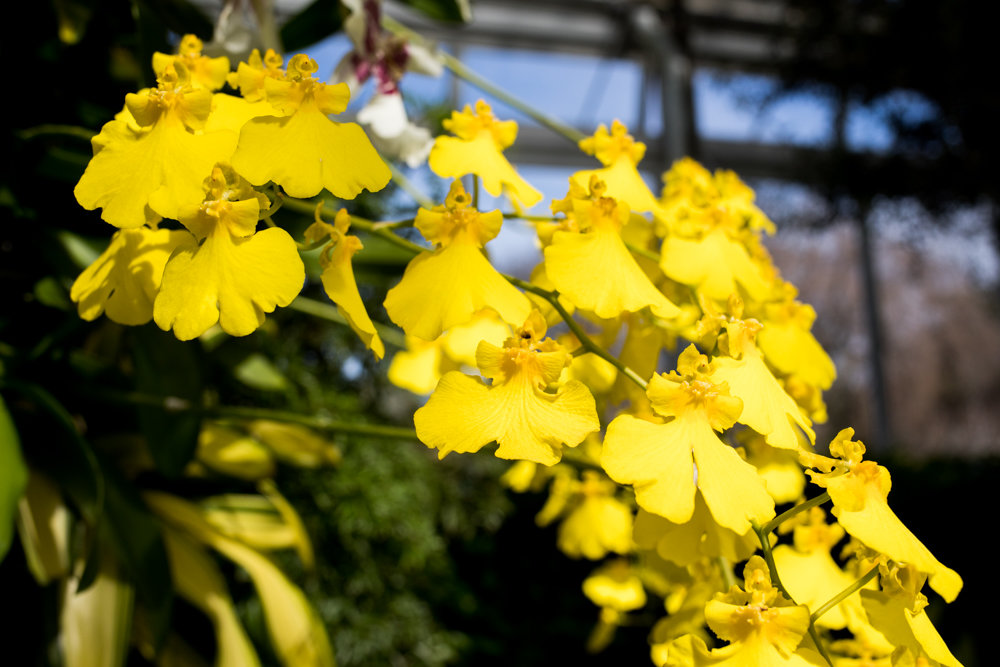 Pansy orchids are among the thousands on display in 'The Orchid Show: Singapore' at the New York Botanical Garden.