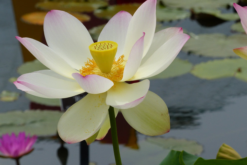 Scientists call the sacred lotus Nelumbo nucifera. But the rest of us simply call it a water lily.