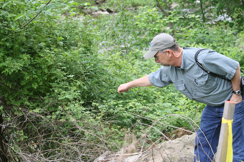 John Schmidt, state coordinator for the U.S. Fish and Wildlife Service's West Virginia Partners for Fish and Wildlife Program, examines Japanese knotweed, an invasive plant species that grows quickly and densely along riverbanks. The plant has been found in the Bronx, along with a spate other invasive species, including incised fumewort.