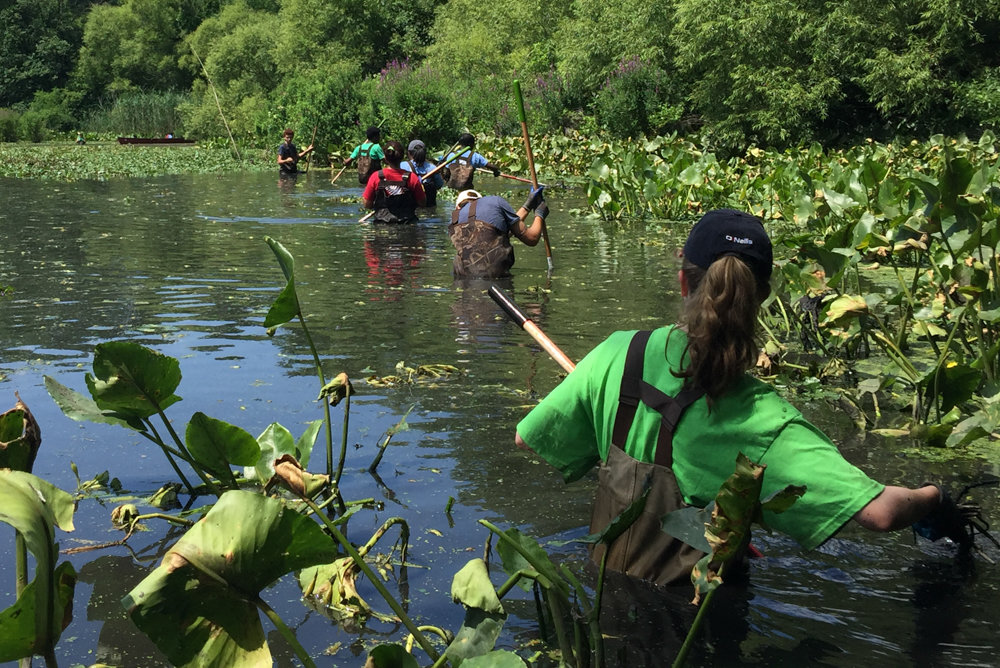 Interns for what was then known as Friends of Van Cortlandt Park work with the park's conservancy to remove non-native invasive aquatic water chestnuts from Van Cortlandt Lake last July. Water chestnuts, along with Japanese knotweed and incised fumewort, have become increasingly common in the Bronx.