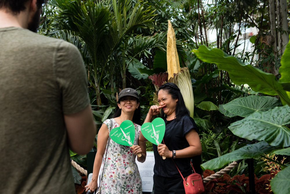 The New York Botanical Garden mercifully provided paper fans emblazoned with the phrase 'sometimes love stinks,' allowing visitors to wave away the smell from the corpse flower.