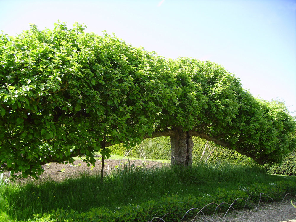 Espalier trees, like this one in West Sussex, England, require a lot of love and attention.