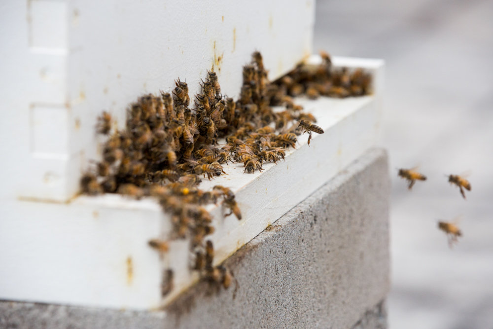 Honeybees congregate on the base of a beehive located on the roof of the Kingsbridge Heights Community Center.
