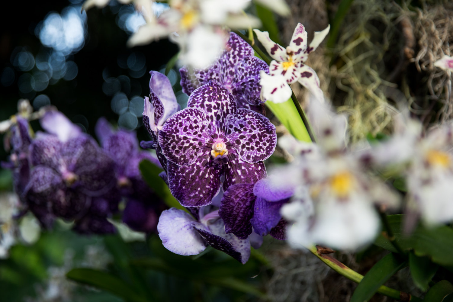 The Sunanda Jeff Leatham is an orchid of the Vanda variety named for the famed floral designer Jeff Leatham, who designed this year's orchid show at the New York Botanical Garden. It's on display through April 19.