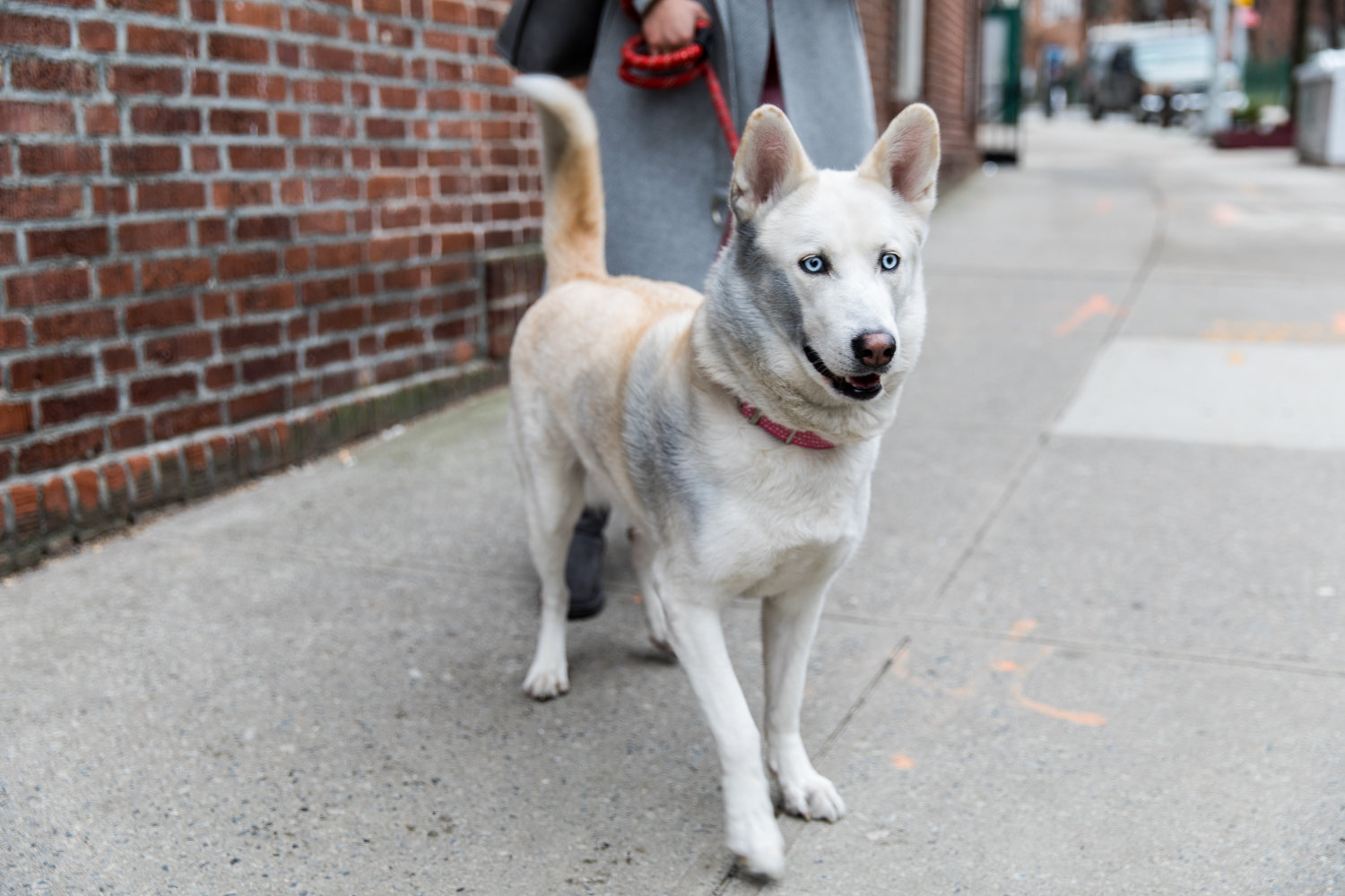 Stella, a 5-year-old husky, was rescued from 215 W. 242nd St., where a one-alarm fire broke out Friday morning.