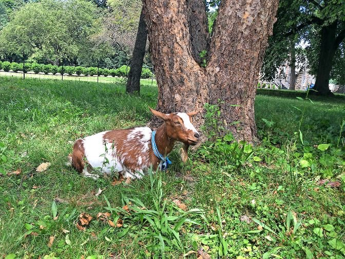 Lulu is one of the goats who stays in Van Cortlandt Park to eat away at the burdock and porcelain berries — typically invasive plant species that's hard to get rid of otherwise. Lulu stayed at the park between June 30 and July 24.