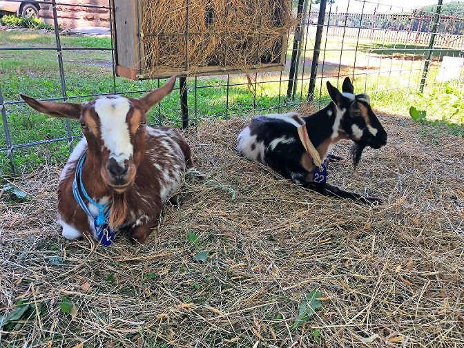 Lulu, left, and Patches were the first pair of goats staying at Van Cortlandt Park this summer to help rid the grounds invasive plant species. Lulu and Patches stayed to eat invasive species in the park between June 30 and July 24.
