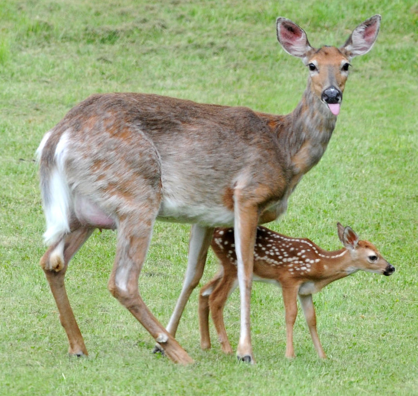 OH DEER — A mother deer stands next to her shaky newborn fawn in this file photo. State environmental conservation officials remind residents who may come across a fawn or other young wildlife not to touch or disturb them. Often, parents are nearby and the young animals aren't abandoned or alone.  (Sentinel file photo by John Clifford)