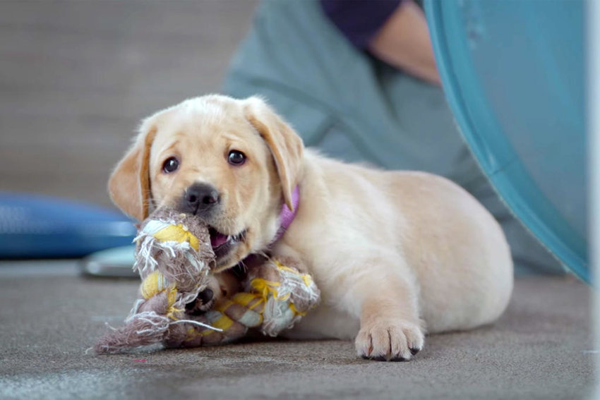 "PUPPY LOVE — Primrose, a puppy training to become a service dog in ""Pick of the Litter""  (Photo submitted)"