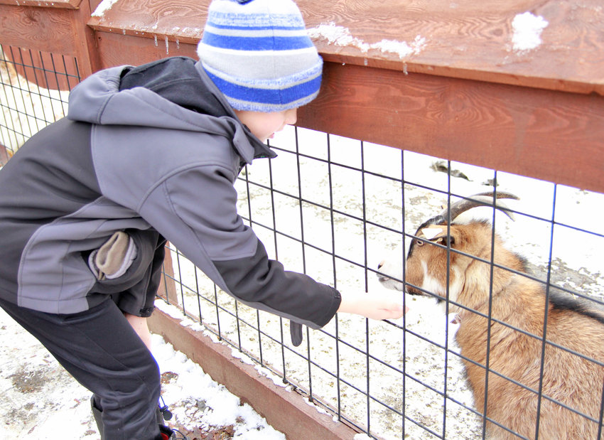 UNINTERESTED UNGULATE — Logan Casab tries to get the attention of a goat at the Utica Zoo during the zoo's Happy Noon Year event Monday. More photos online at www.romesentinel.com.
