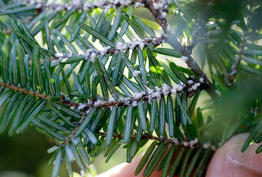KILLING HEMLOCKS — Evidence of Hemlock woolly adelgids on hemlock tree needles are seen in Petersham, Mass. No larger than a speck of pepper, the Hemlock woolly adelgid spends its life on the underside of needles sucking sap and eventually killing the tree.
