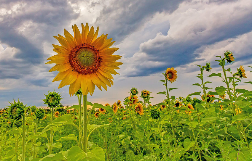 """HONORABLE MENTION — Roman and amateur photographer Nelson Rudiak's """"Sunflowers,"""" shown above, won an honorable mention in the still life category at the 12th annual International Color Awards, live streamed from Los Angeles on March 9. The photo was snapped in summer 2018 at Wagner Farms on Old Oneida Road in south Rome."""
