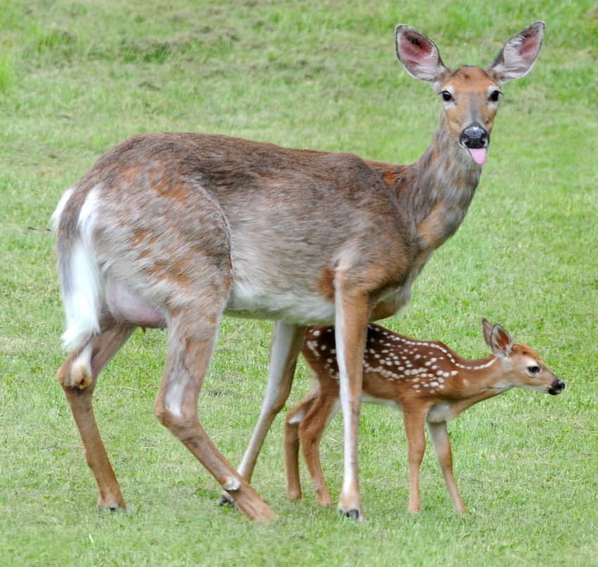 OH DEER — A mother deer stands next to her shaky newborn fawn in this file photo. State conservation officials remind residents not to touch or disturb young wildlife. Often, parents are nearby and the young animals aren't abandoned or alone.