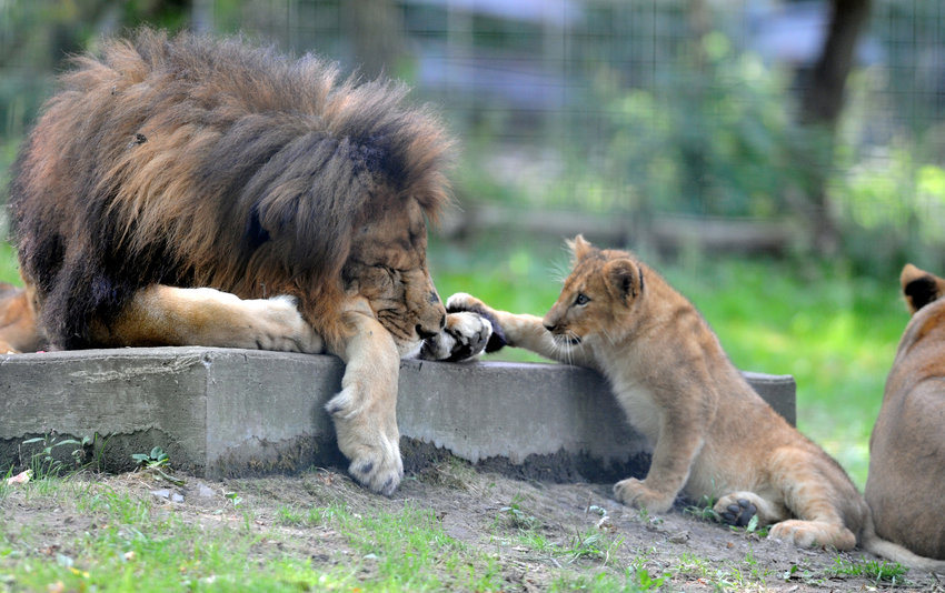 BRUSH WITH LION — A club attemts to play with an adult African lion at the Utica Zoo in this file photo.  The zoo's white peacock, Merlin, flew into the lions' enclosure and was unable to escape in time and was killed on Wednesday, zoo oficials said.