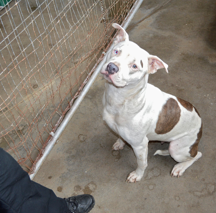 RECOGNIZE HER? —The Sheriff's Office is looking for the dark colored sedan that dropped off this female pit bull.